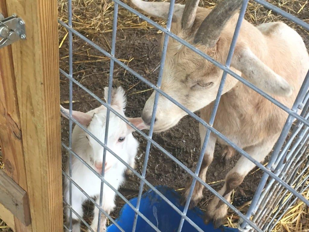 Baby Goat & Mom at Christian Way Farm