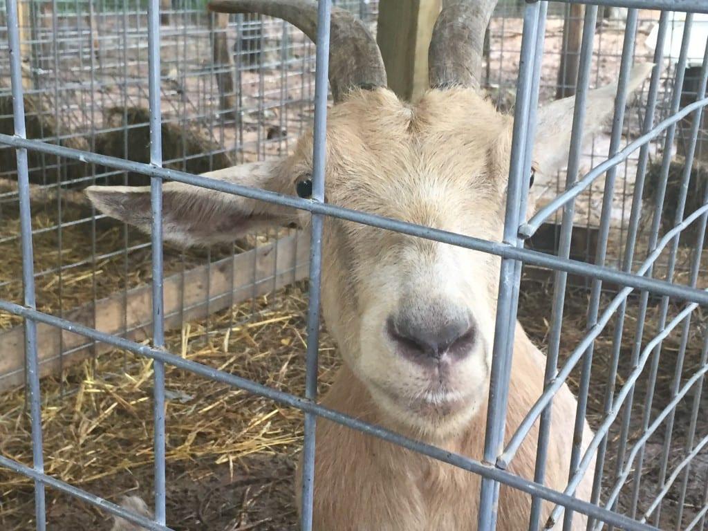 Momma goat at Christian Way Farm