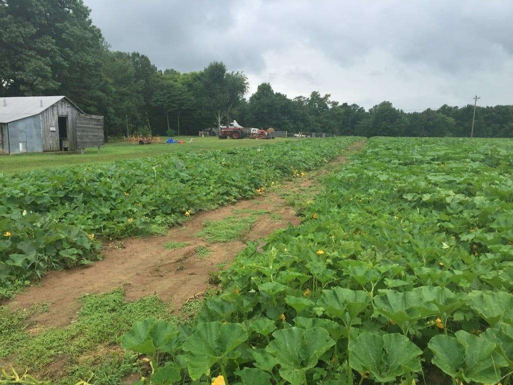 Summer view of Christian Way Farm Pumpkin Patch